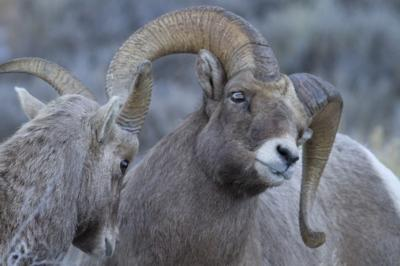 G&F monitors sheep health | Wyoming News | trib com