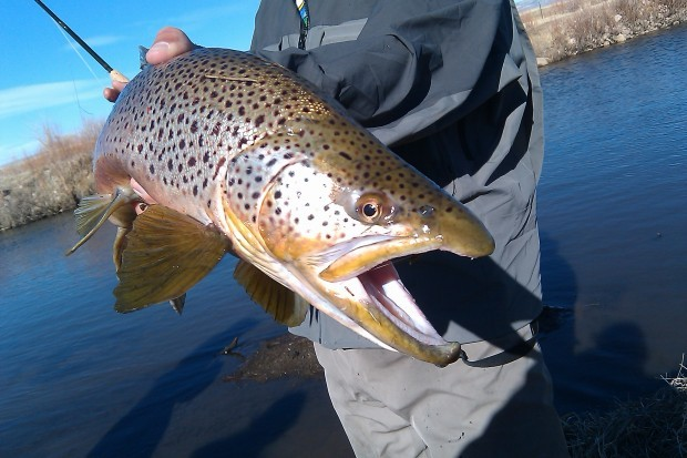 Wyoming fishing report fall is the time for brown trout for Casper wyoming fly fishing