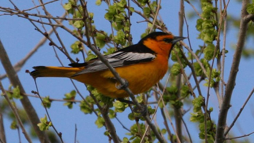5 Birds To Look For In Wyoming This Spring Open Spaces