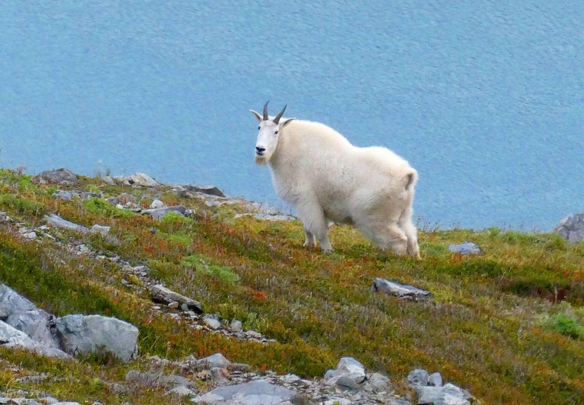 Grand Teton Goats (copy)