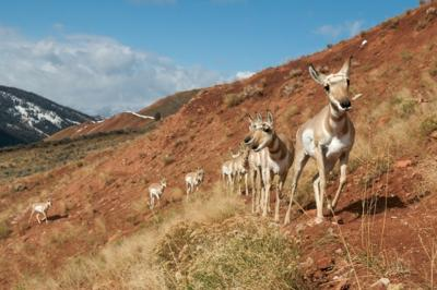 Conservationists help protect ancient antelope migration route