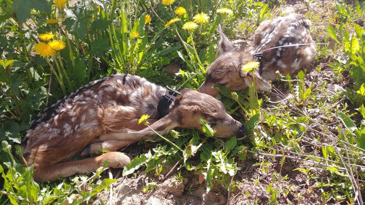 Mule Deer Fawn Study