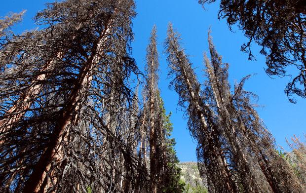 Pine Beetle Decline