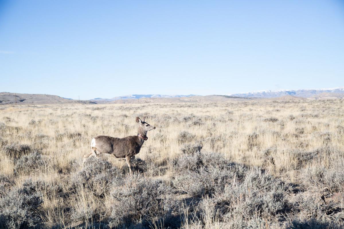 Deer Collaring