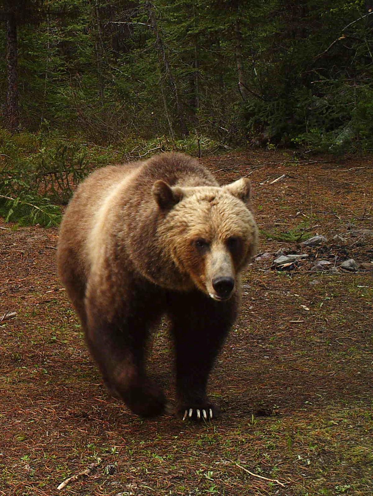 Grizzly Bears Montana