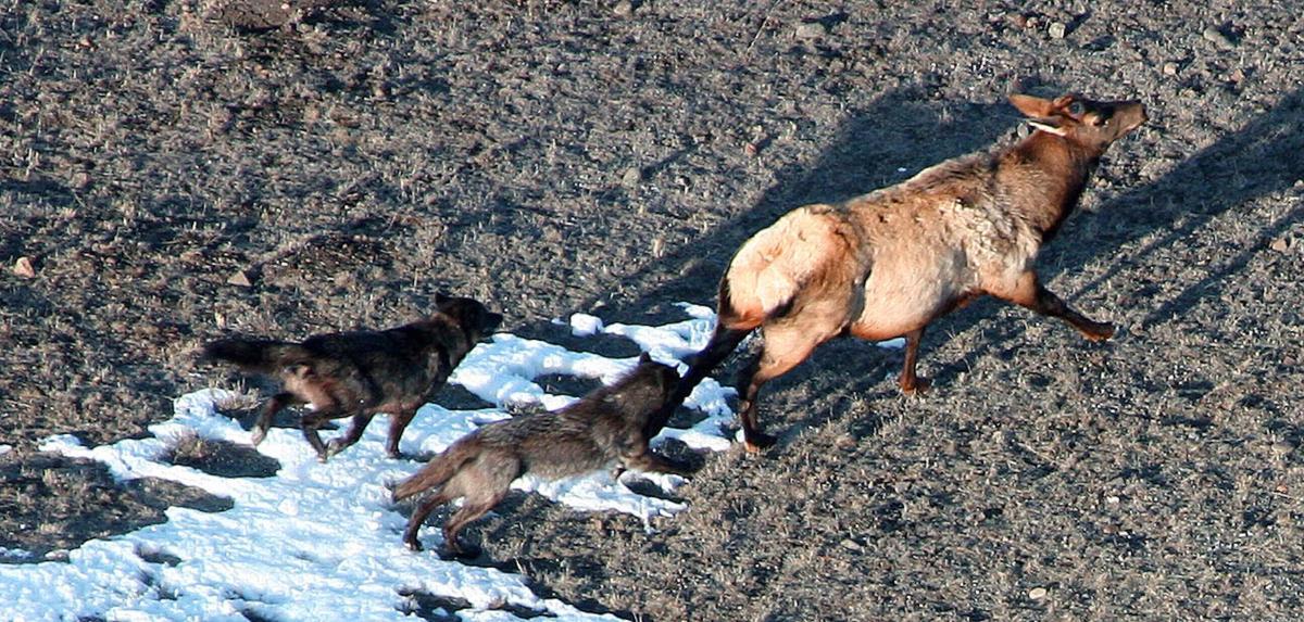 Elk and wolves