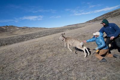 Deer Collaring Study