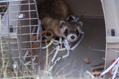 Black Footed Ferret Release