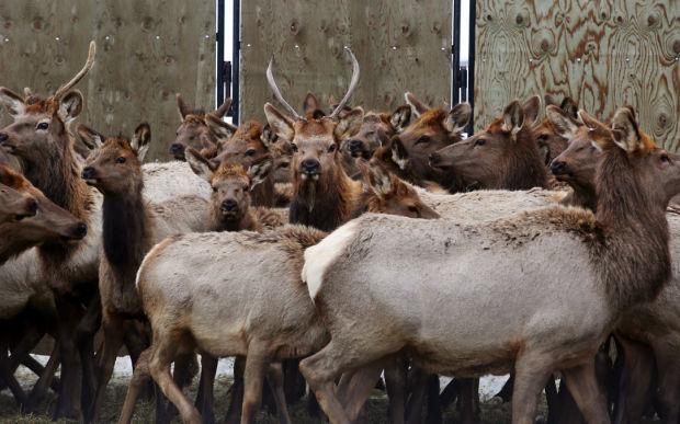 Elk Brucellosis Study