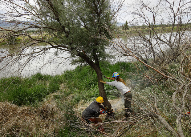 Russian Olive Removal