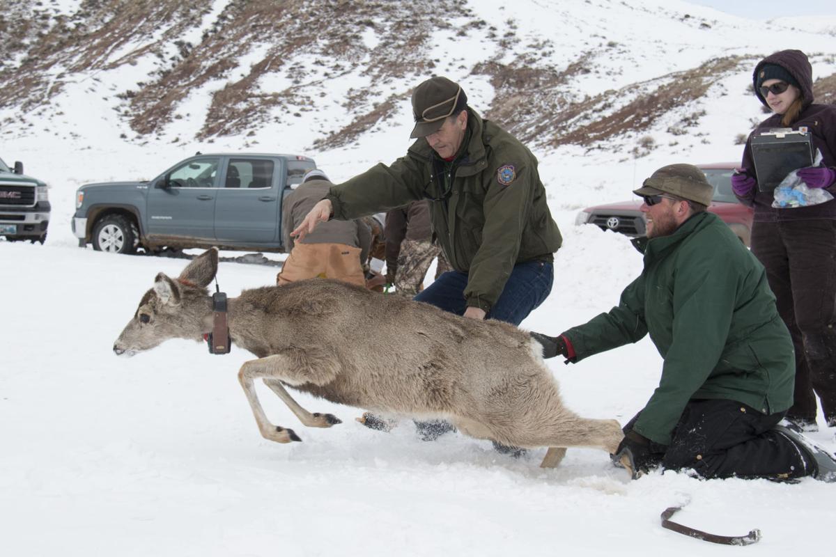 Mule Deer Capture