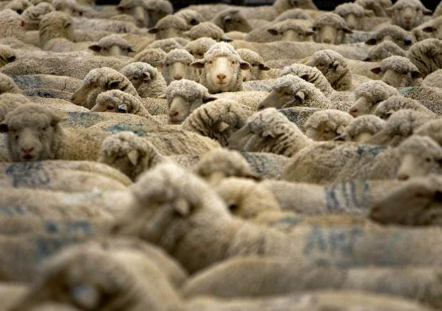 Western Exposure: Knee Deep in Sheep