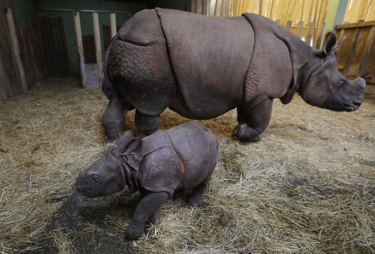 Photos: Czech zoo welcomes new baby rhino   World   trib com