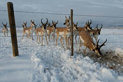 Pronghorn migration
