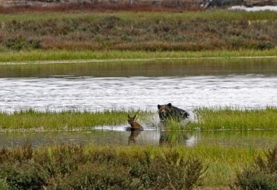 Elk predation