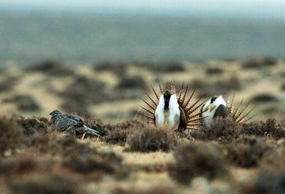 Forest Service to change sage grouse protections in 5 states