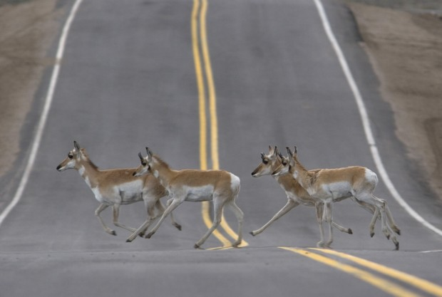 WYDOT approves $9.7M for deer underpasses, antelope overpasses