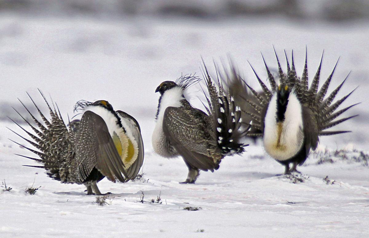 2 states warn Trump against big changes in sage grouse plan