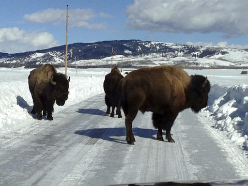 Bison, cars endangered by deep snow in Wyoming's Grand Teton