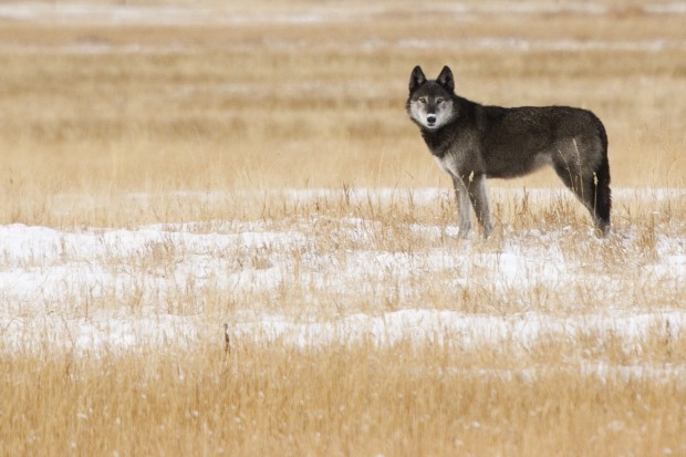 Two ways to look at wolf numbers
