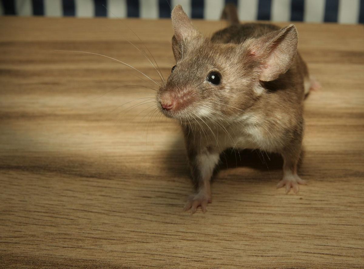 Mice Problems