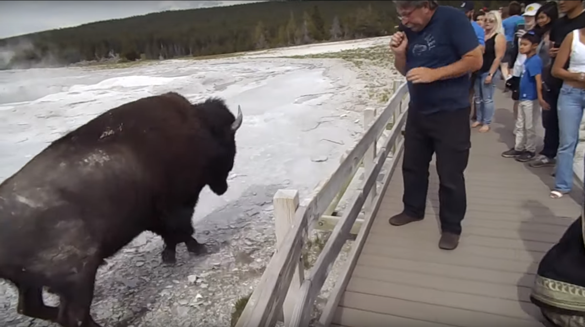 After tourist pets bison, Yellowstone officials warn of dangerous