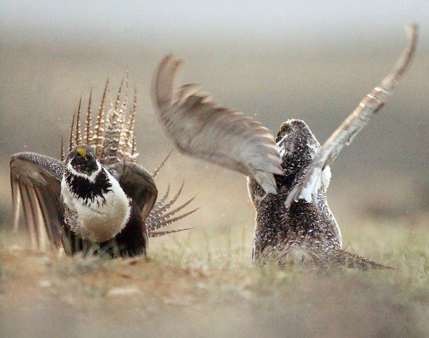 Sage Grouse Protection