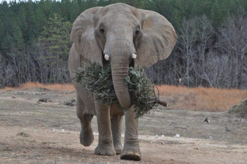 You Can Feed Your Old Christmas Tree To An Elephant