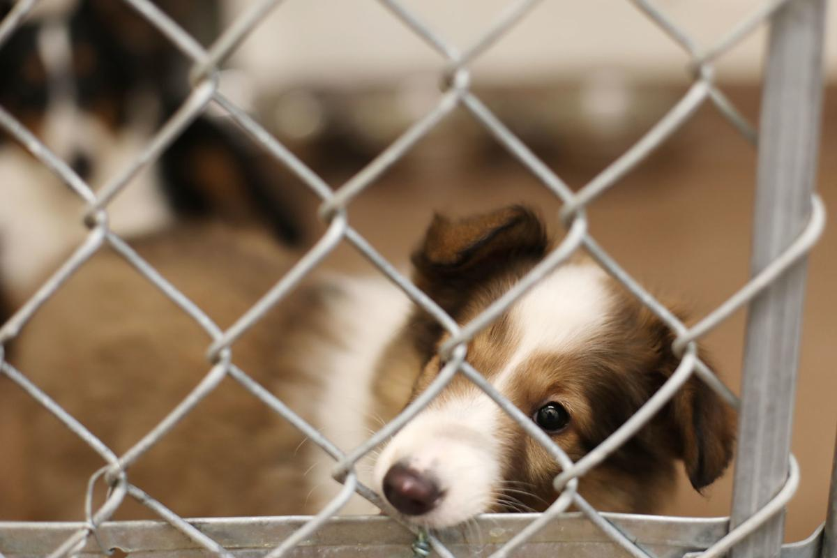 Shelter at capacity with influx of animals confiscated from