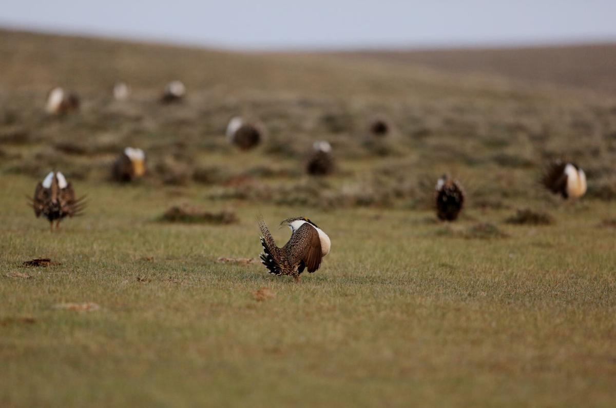 Sage Grouse look back 2015