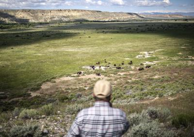 For Once Join Herd >> Eastern Shoshone Tribe S Wild Buffalo Herd Continues To Grow