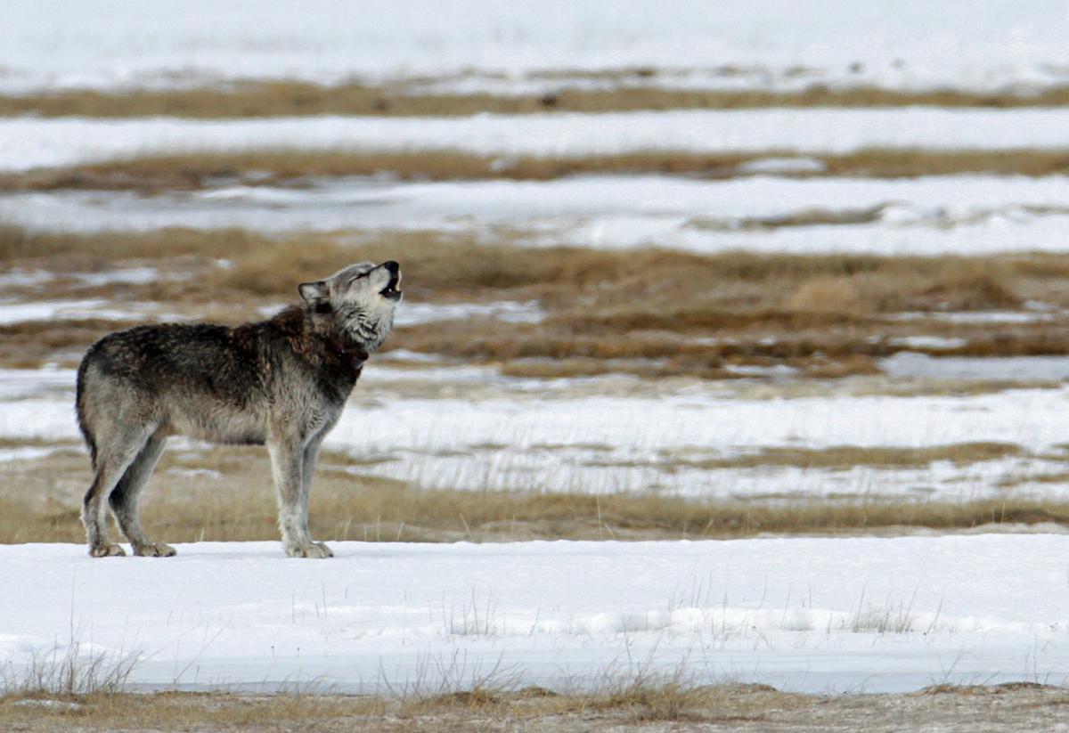 Yellowstone wolf (copy)