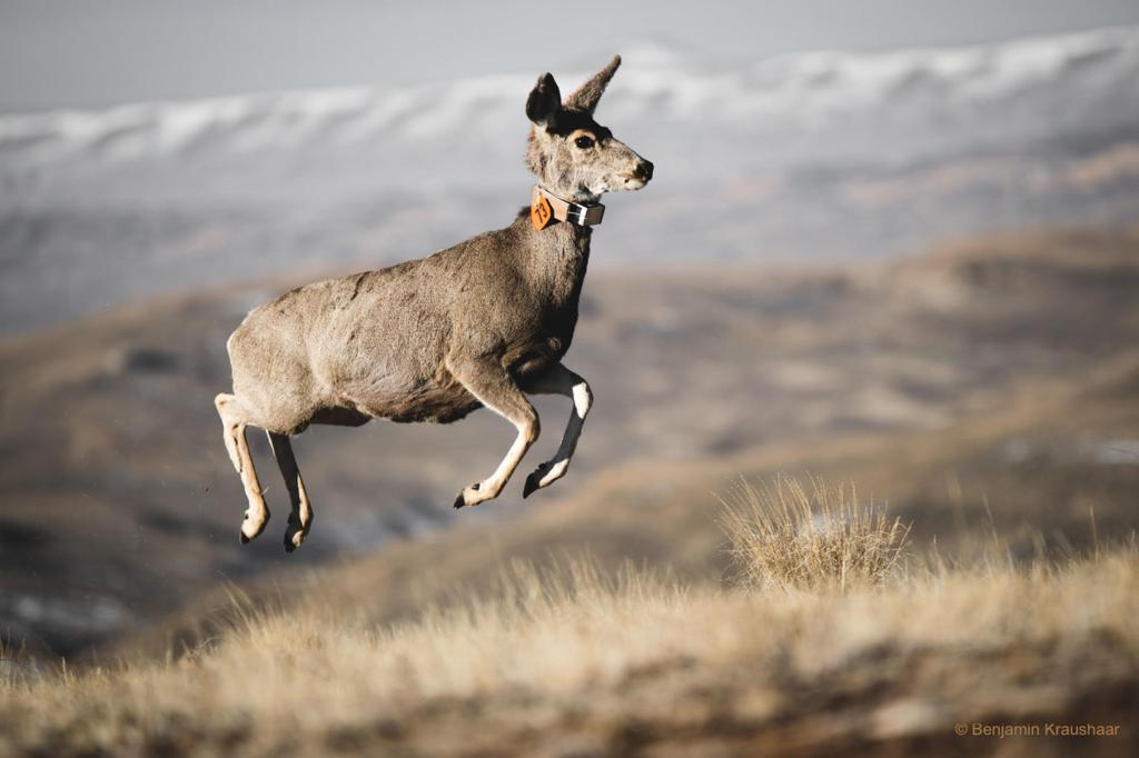 Deer numbers drop almost 40 percent as animals avoid oil and