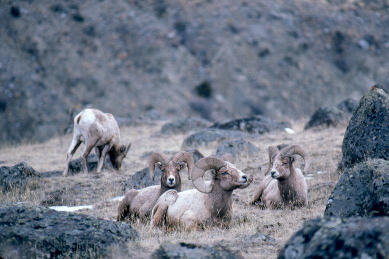 051119-osp-sheepvsgoats0002