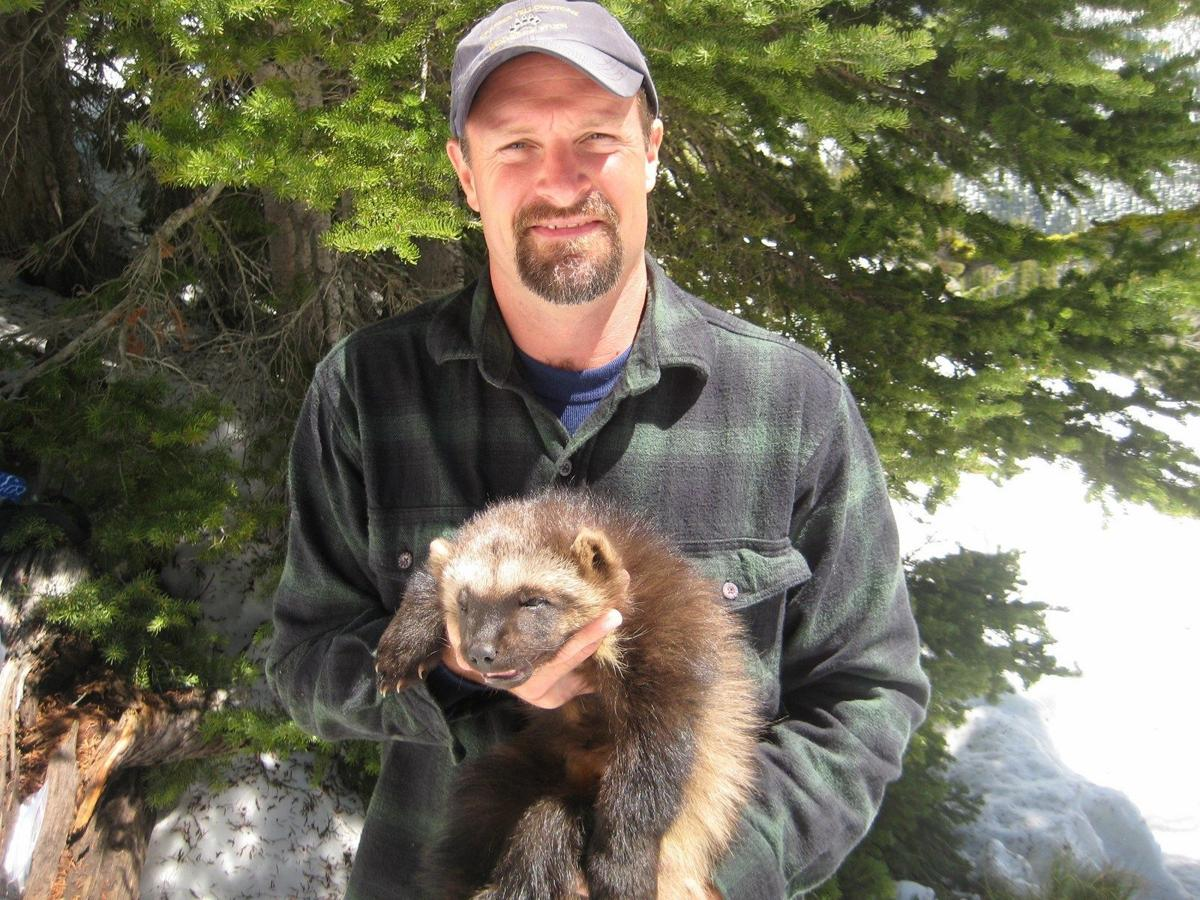 Wolverines documented in new Wyoming territory   Open Spaces