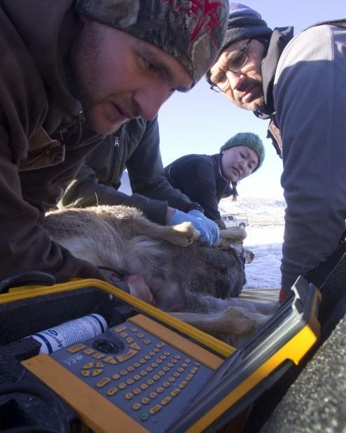 Deer capture