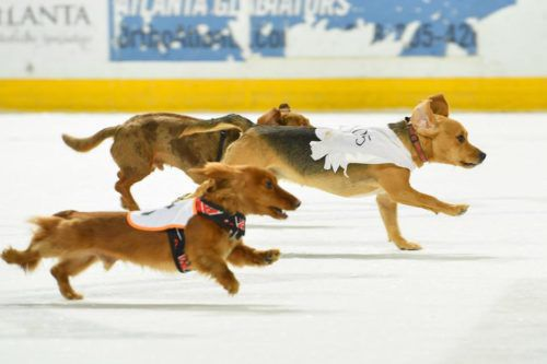 Watch Dozens Of Pups Compete In An Adorable Wiener Dog Race