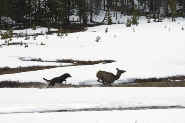 Are wolves to blame?
