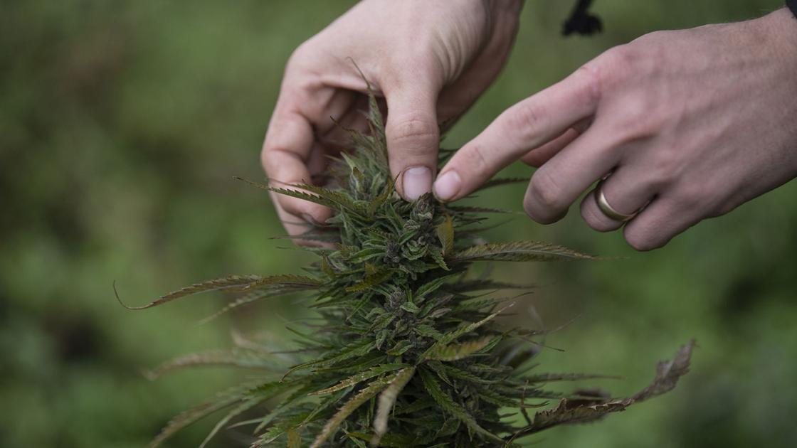 Judge tosses marijuana charges brought against hemp farmers