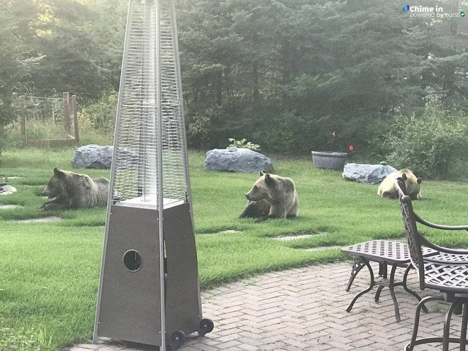 Lounging grizzlies