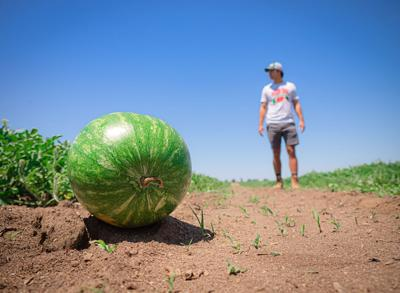 Family matters: Watermelon farming with the Mouzin Brothers