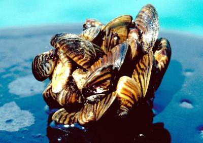 Invasive Mussels
