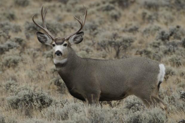 Pinedale Mesa deer population drops