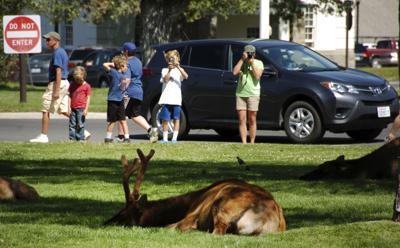 Elk attack