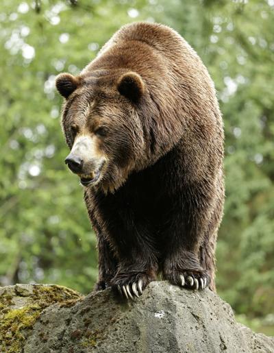 Bringing Back Grizzlies