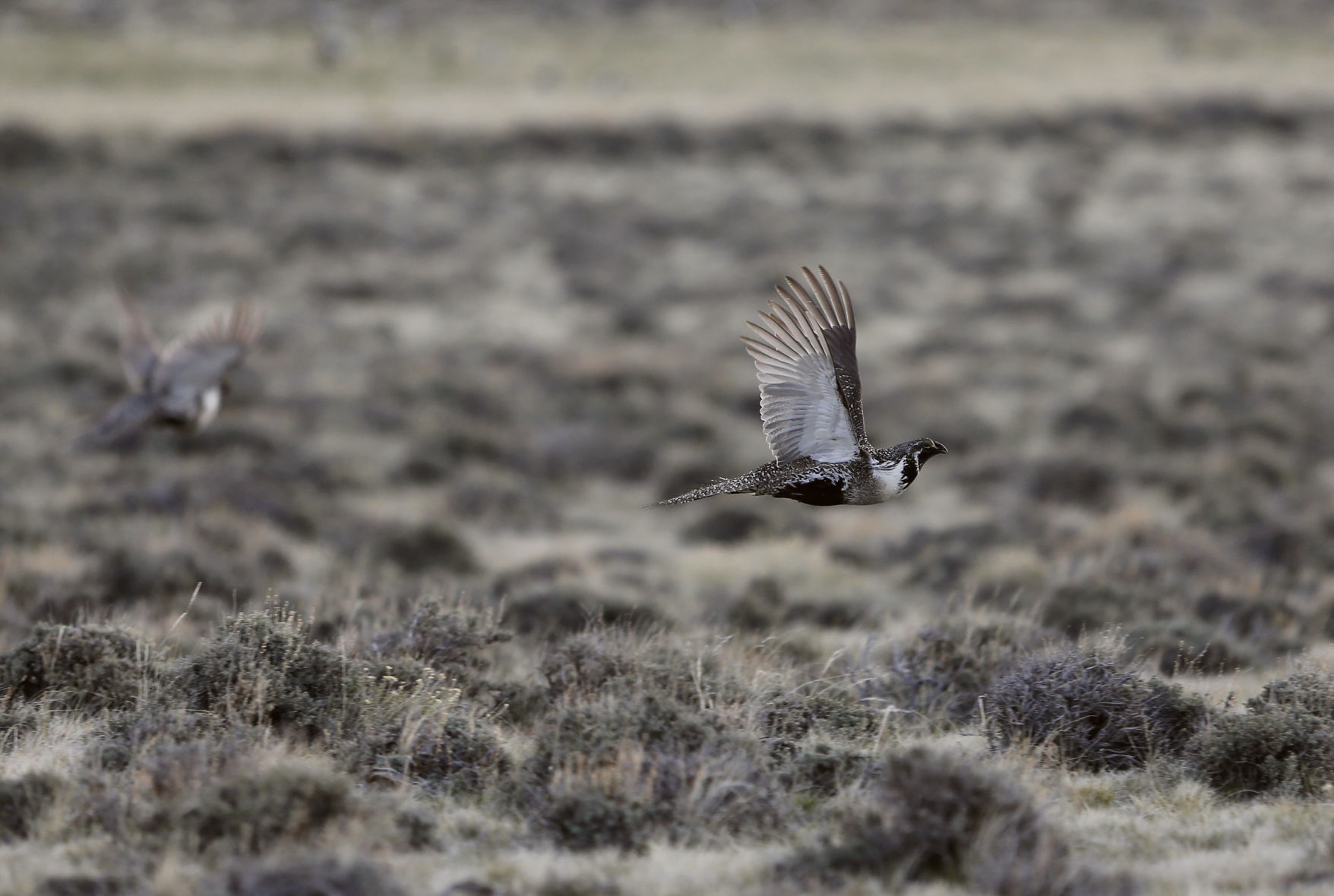 BLM won't remove land for hard rock mining in sage-grouse habitat