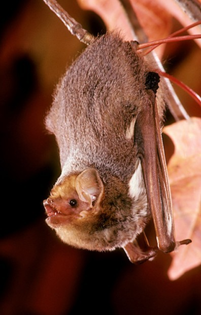 Migratory Bats Hardest Hit By Wind Turbines Home And