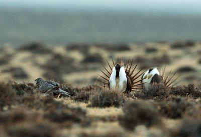 Sage grouse DNA study maps crucial mating grounds in US West