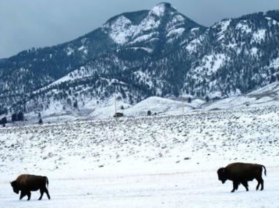 Yellowstone Bison viral video editorial
