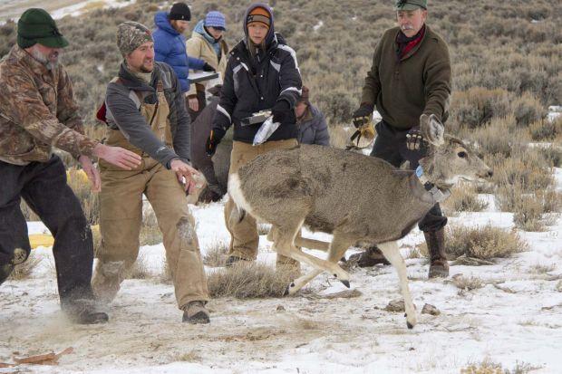 Mule deer study
